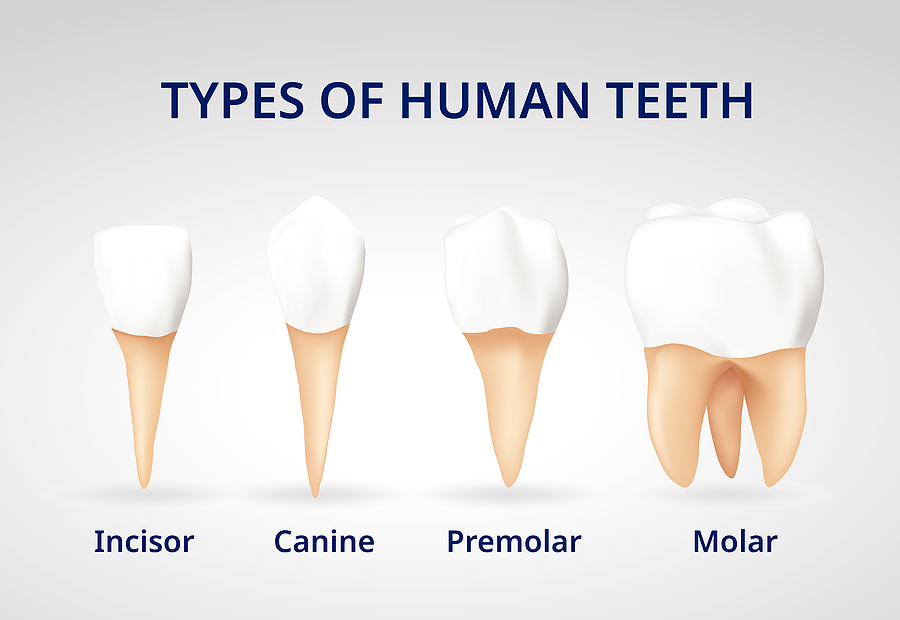 types of teeth, tooth, rochester hills, family dentist, oakland county, best dentists